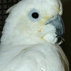 Portretfoto van Krypto, kruising Witkuif-kaketoe x Oranjekuif-kaketoe. 1-3