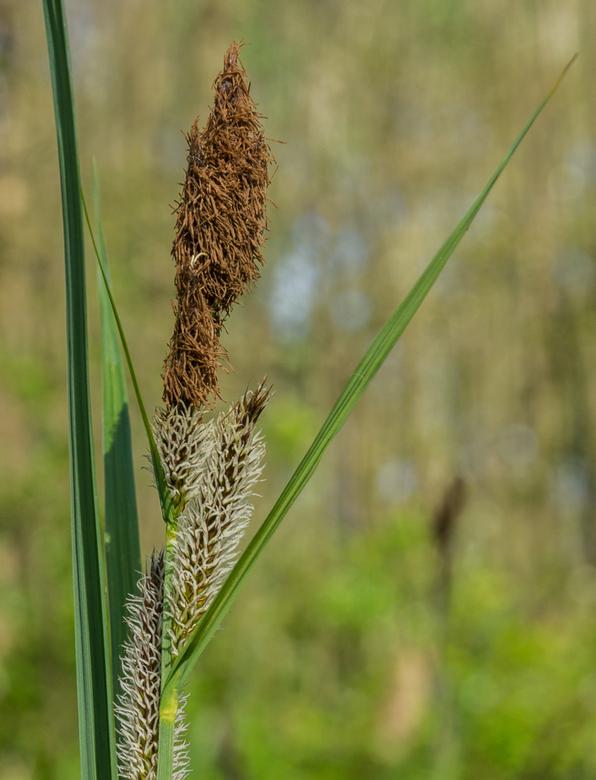 Grasje - Een bloeiend gras in de Horsten. De blaadjes zorgen ervoor dat je aandacht naar de bloem getrokken wordt en de DOF zorgt er voor dat hij naar