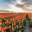 Tulpen zonsondergang