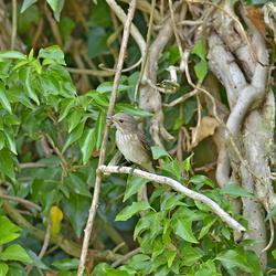 grauwe vliegenvanger 20-6-17 onnepolder