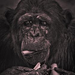 ***** Chimpansee *****