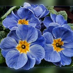 Primula blauw