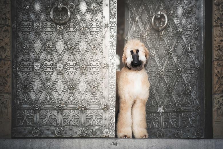 L O D E W I J K - Lodewijk is een prachtige Afghaanse windhond pup van nog geen jaar oud