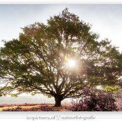 De mooiste boom van de Posbank
