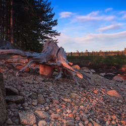 Dead Tree in Moor . . . Sweden