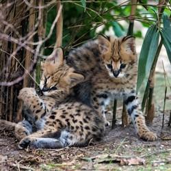 Jonge servals