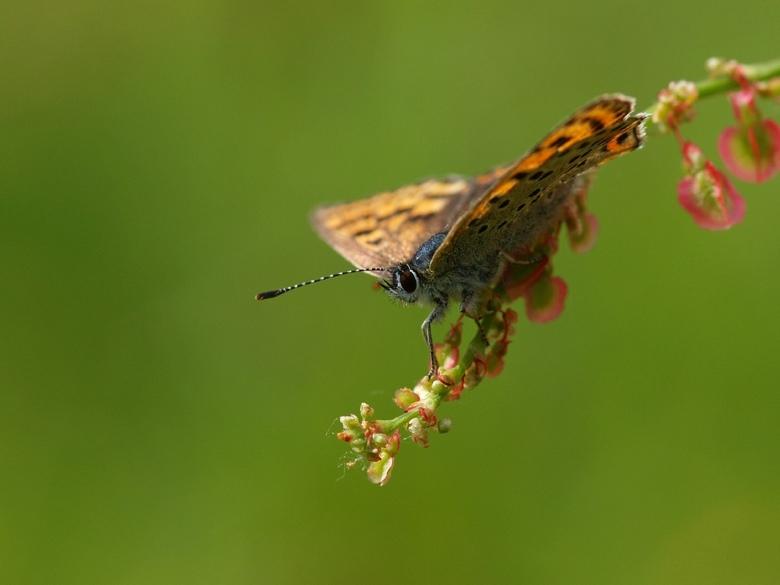 Bruine Vuurvlinder - Bedankt voor alle reactie en stemmen op mijn vorige foto eend.<br /> <br /> Groetjes Jet