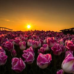 avondzon en tulpen