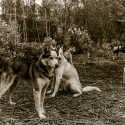 Siberian Huskies on Stake Out