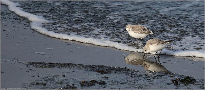 Drieteenstrandloper II - De drieteenstrandloper is een echte strandvogel en in het najaar in Nederland te zien als doortrekker naar het Middellandse Z