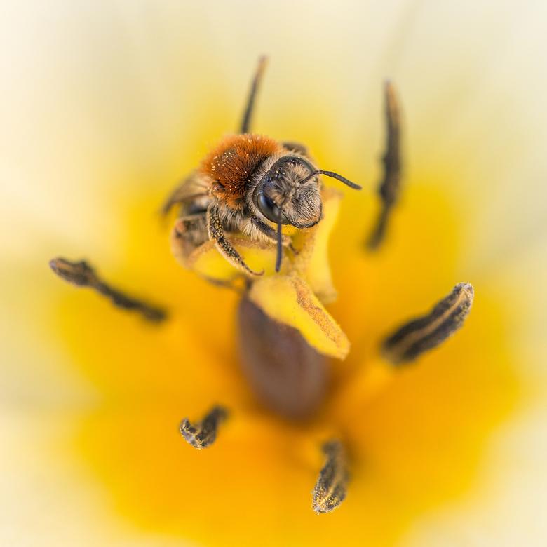 Almost Summertime - een bij aan de binnenkant van een tulp.