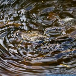 kikker maakt golven