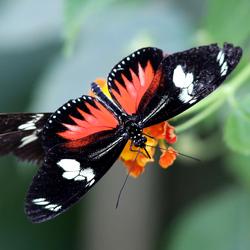 Vlinder - Artis