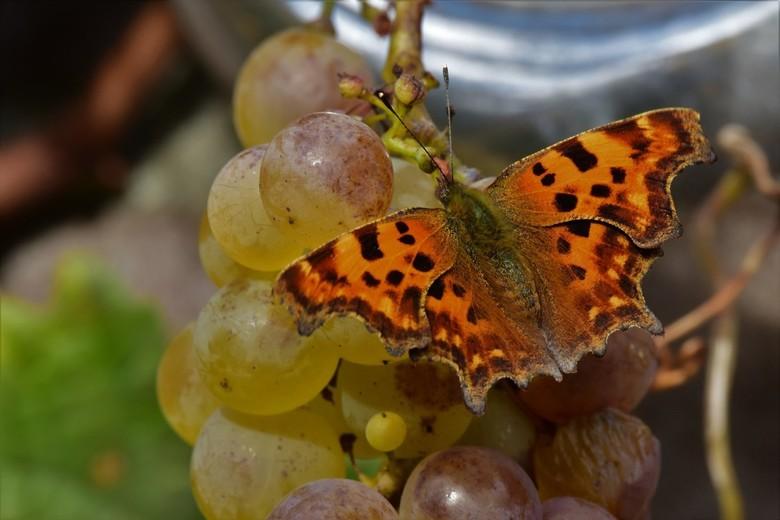 Snoepgoed voor vlinders - De gehakkelde aurelia doet zich tegoed aan suikers van mijn druiven
