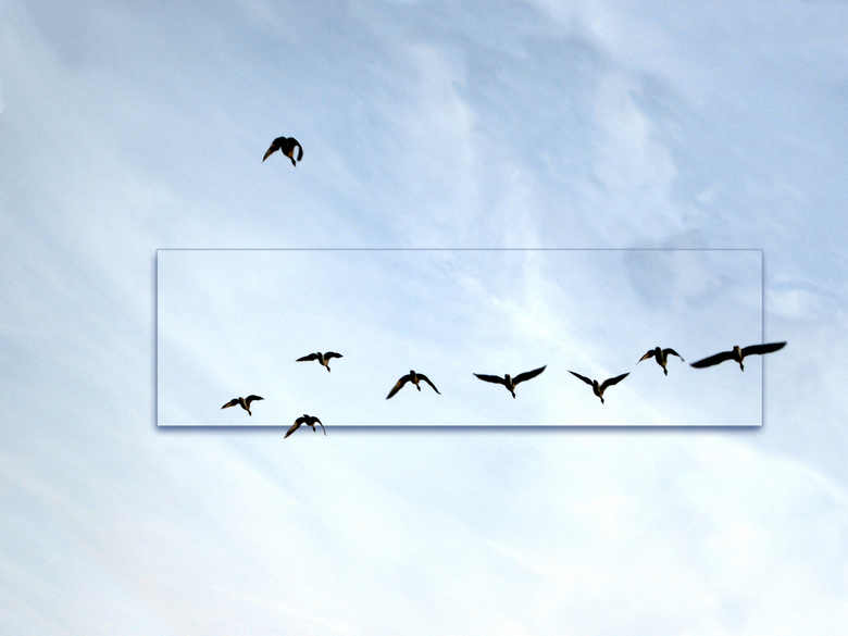 Ganzen formatie - De ganzen zitten massaal in het land en af en toe vliegt er een heel koppel op om een ronde te draaien en dan weer neer te dalen.<br