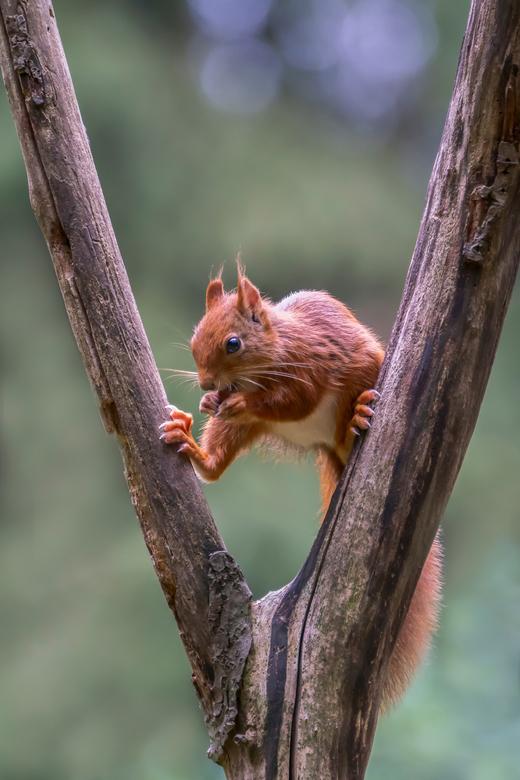 De split - De eekhoorntjes zijn erg druk bezig met het zoeken van nootjes om hun wintervoorraden aan te leggen.<br /> <br /> Bedankt voor de leuke e