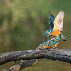 Parende Ijsvogels 2