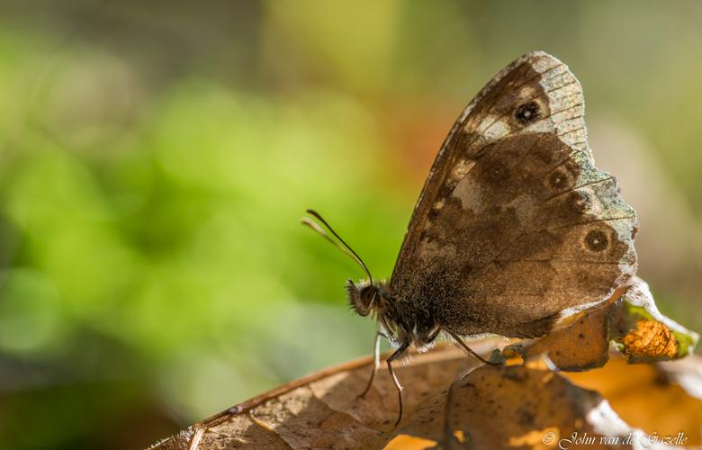 Vlinder op verdord blad
