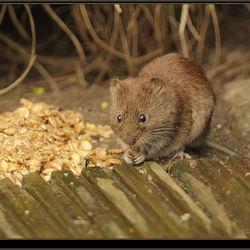 De (wilde) muis met een graankorreltje tussen zijn voorpootjes.