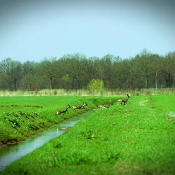 Herten springen over water