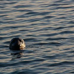 licht op zeehond