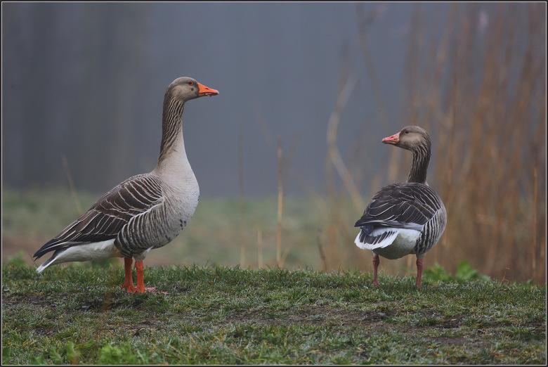 Grauwe Gans - De grauwe gans vastgelegd op een grauwe mistige morgen. Dertig jaar geleden was de grauwe gans nog een zeer zeldzame broedvogel in Neder