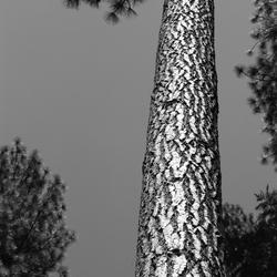 Black & White Redwoods
