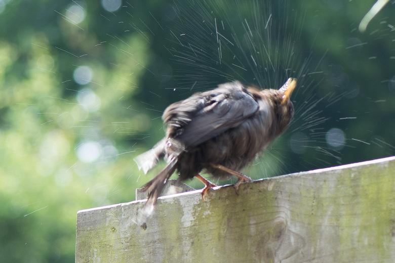 Merel na het bad - Met deze warme dagen nemen de vogels graag een bad, om zich vervolgens ter dege uit te schudden. Ook zo deze jonge merel.