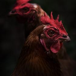 Kippen in het bos
