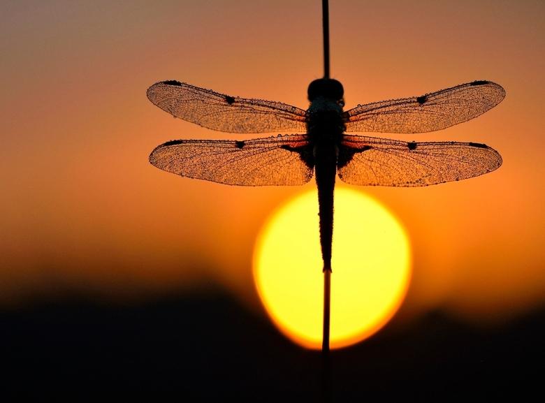 in the sun - deze viervlek libel hing zich op te warmen in de zon