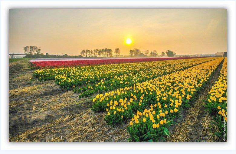 bollenvelden Boekelermeer 2 - 's morgensvroeg in de ochtendnevel de bollenvelden in de Boekelermeer tussen Heiloo en Alkmaar