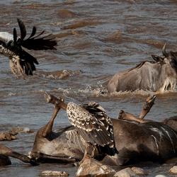 Gnoe redt de oversteek - Mara River - Tanzania.