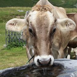Milka koe