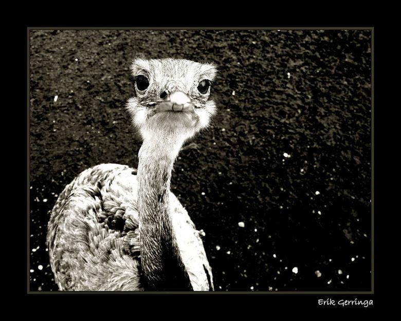 struisvogel -