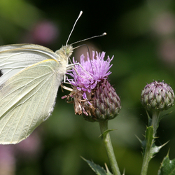 Bewerking: white butterfly