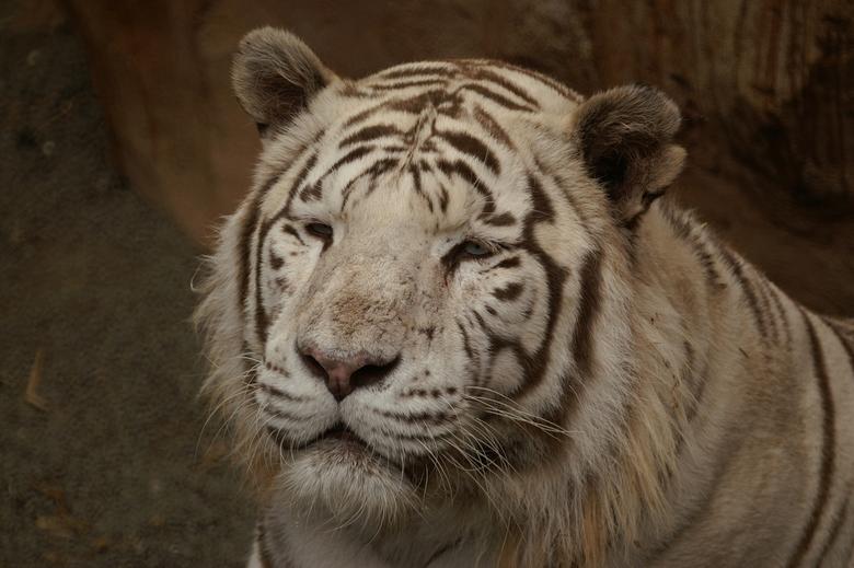 witte tijger - hellaas kon je er op geen manier bij  om een foto te maken dus dan maar van ver weg
