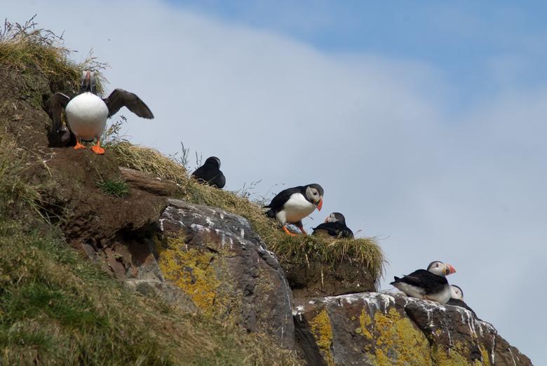 Papegaaiduikers - Lokatie: Bakkagerôi, oostkust van IJsland<br />