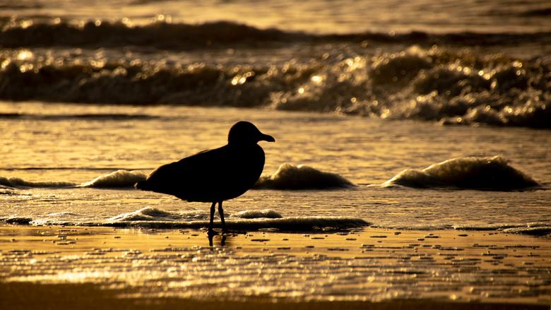 Seagull silhouette - Net als wij genoten de meeuwen ook van het avond licht.<br /> <br /> Gr Johan