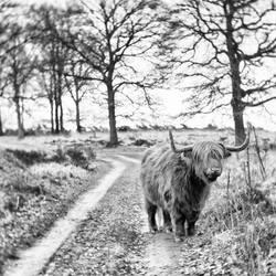 highlander on the loose