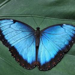 Morpho peleides, the Peleides blue morpho
