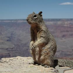 Squirrel Grand Canyon