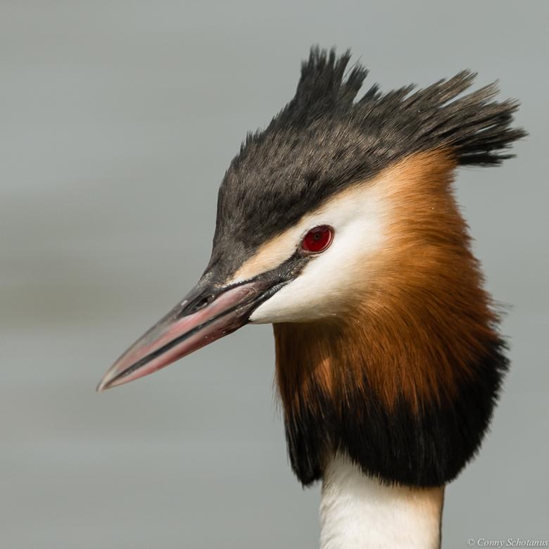 Fuut - De Fuut is een sierlijke vogel met prachtige ogen en kuif.