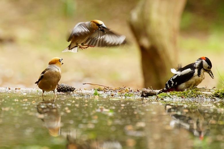 Vink in de aanval - Vink in de aanval voor zijn eten terwijl de andere vink hem waarschuwt voor het gevaar