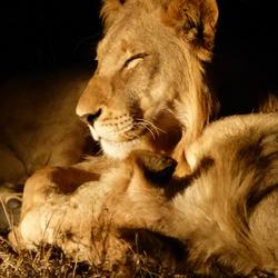 Zuid-Afrika; nachtfoto leeuw