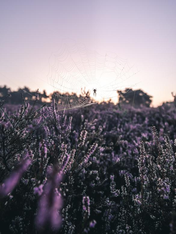 Purple meadow spider. - Prachtige ochtend op de Teut in Zonhoven. De zon zien opkomen over de mooie paarse heide. Genieten.<br /> <br /> Make sure y