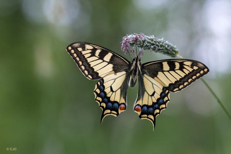 The Queen  - Een vlinder die voor mij tot de verbeelding blijft spreken &quot;de koninginnenpage&quot;<br /> Geweldig indrukwekkend om voor de lens t