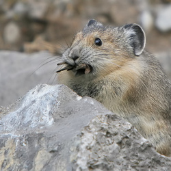 Pika at maligne road in Canada