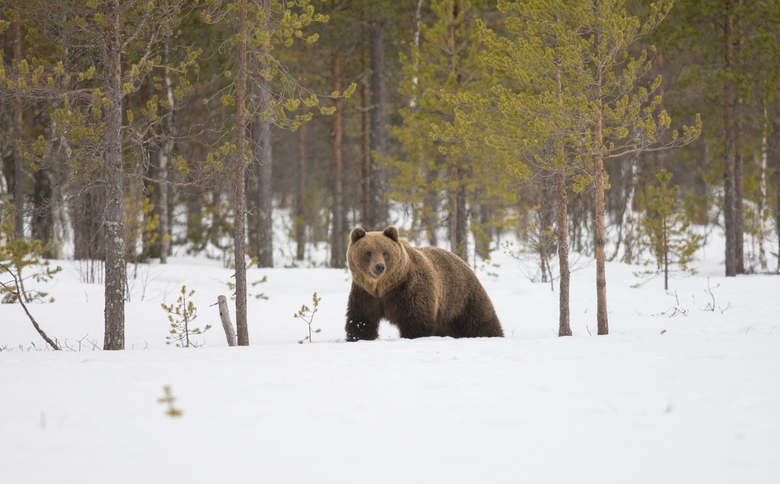 _Europese bruine beer