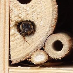 Metselbij in het insectenhotel.