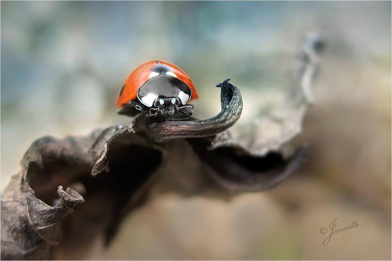 zonder titel - <br /> Het is wat het is, een lieveheersbeestje tussen verdorde bladeren.<br /> <br /> En weer hartelijk dank voor de verrassende be